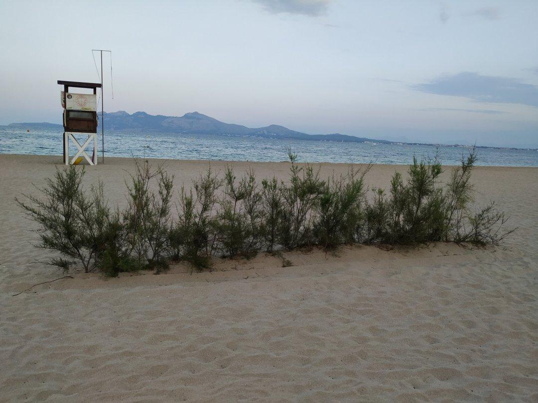 Tamariz en la playa de Pollença, especie autóctona